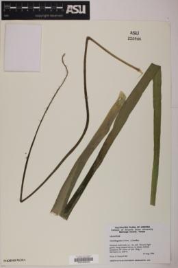 Ornithogalum virens image