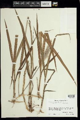 Image of Imperata cylindrica