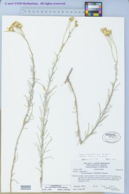 Senecio flaccidus image