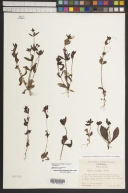 Diplacus viscidus image