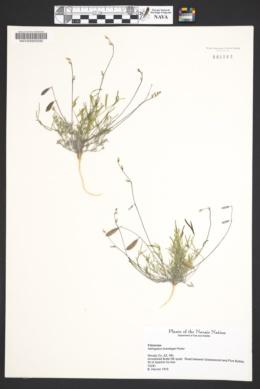 Astragalus brandegeei image