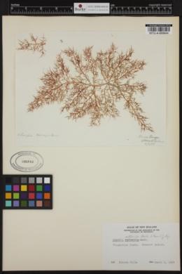 Champia affinis image