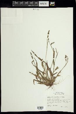 Paspalum convexum image