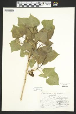 Populus deltoides subsp. wislizeni image