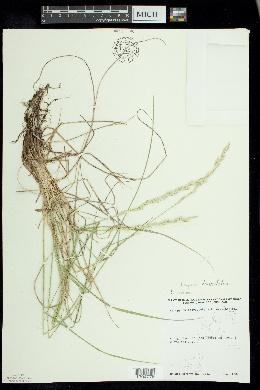 Elymus lanceolatus subsp. lanceolatus image