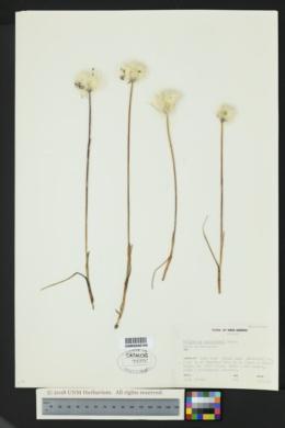 Eriophorum scheuchzeri image