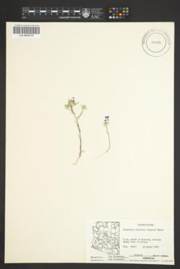 Eriastrum eremicum image