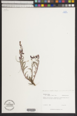 Penstemon roezlii image