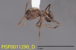 Image of Formica gnava