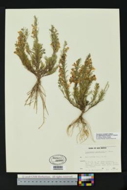 Penstemon crandallii subsp. glabrescens image