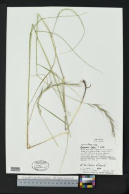 Elymus bakeri image