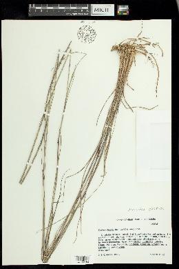 Image of Mnesithea cylindrica
