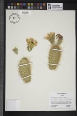 Opuntia diploursina image