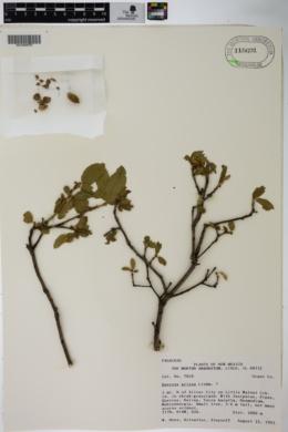 Quercus grisea image