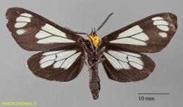 Gnophaela vermiculata image