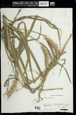 Cenchrus pilosus image