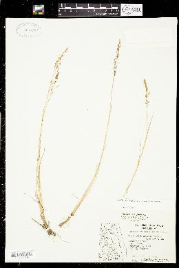 Image of Puccinellia arctica