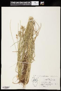 Carex muehlenbergii image
