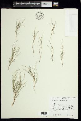 Image of Muhlenbergia tenuissima