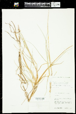 Cenchrus spinifex image