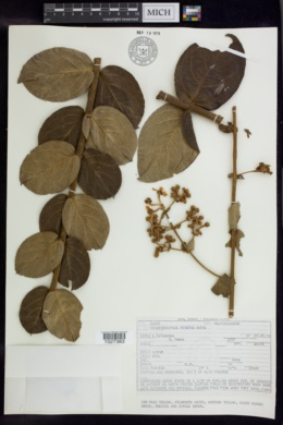 Banisteriopsis hirsuta image