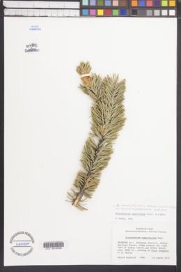 Arceuthobium campylopodum image