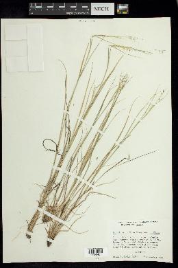 Bouteloua uniflora image