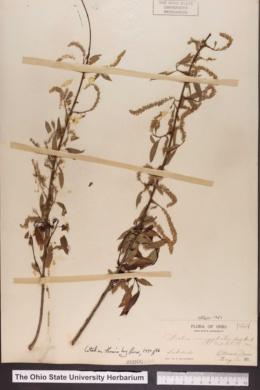 Salix amygdaloides image