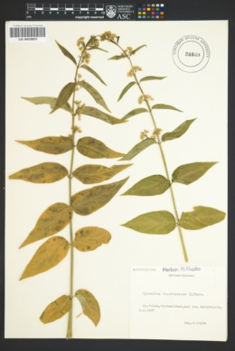 Image of Cynanchum vincetoxicum