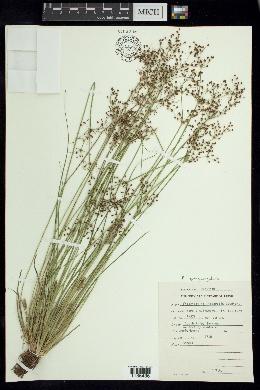 Image of Fimbristylis quinquangularis