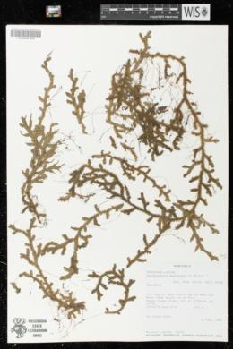 Image of Selaginella applanata