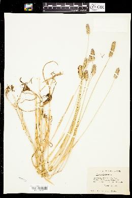 Phleum hirsutum image