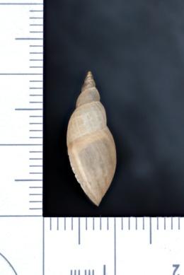 Stagnicola elodes image