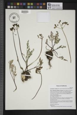 Image of Lomatium canbyi