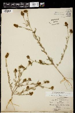 Image of Dalea nigra