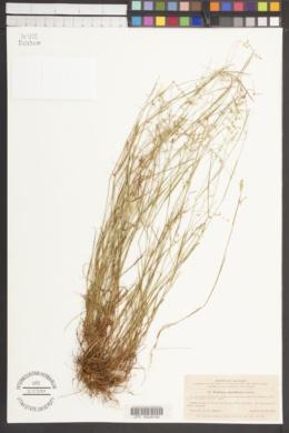 Image of Panicum exiguiflorum