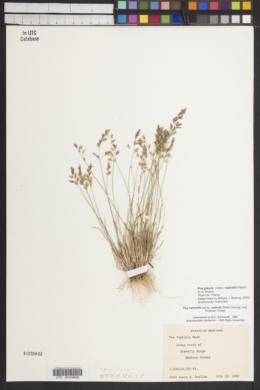 Poa glauca subsp. rupicola image