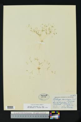 Mollugo cerviana image