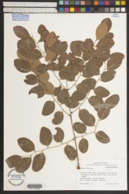 Image of Burkea africana