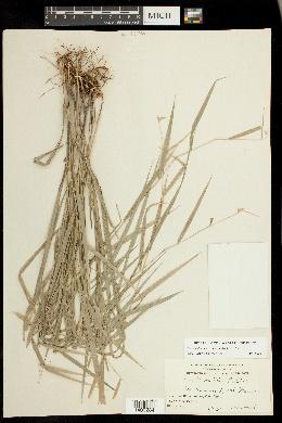 Image of Chasmanthium nitidum
