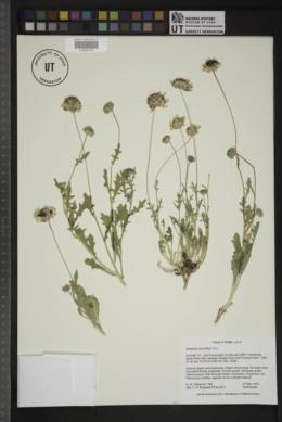Image of Gaillardia picta