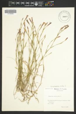 Image of Dianthus sylvestris