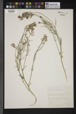 Astragalus woodruffii image