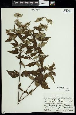 Image of Pycnanthemum albescens