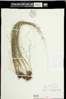 Image of Rhynchospora galeana