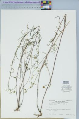 Heliomeris longifolia var. annua image