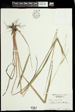 Paspalum difforme image