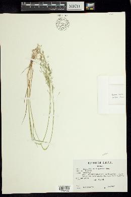 Image of Agrostis rosei