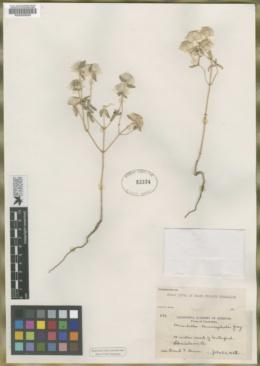 Monardella leucocephala image