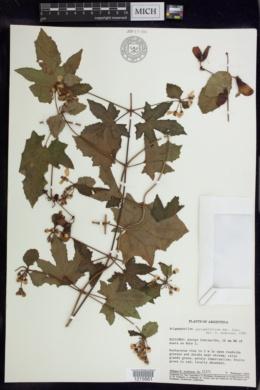Image of Stigmaphyllon jatrophifolium